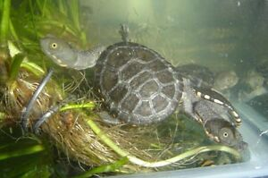 Baby Long Neck Turtles Mentone Kingston Area Preview