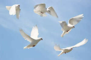 White racing pigeons for sale!