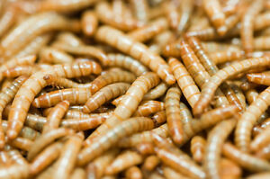 1000 Crickets $25 and 1000 Mealworms $15 Cornwall Ontario image 2