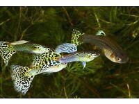GUPPIES FISH