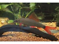 Red Tailed Shark Tropical Fish For Sale