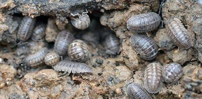 Two Bugs - Two dozen Isopods Roly Poly / Sow Bugs / Composting Bugs 24 plus extras