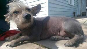 """Adult Female Dog - Chinese Crested Dog: """"Nala"""""""