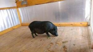 "Young Female Pig - Vietnamese Pot Bellied: ""Oprah"""