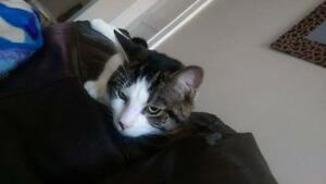 "Young Male Cat - Domestic Short Hair: ""Domino"""