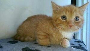 "Baby Male Cat - Domestic Short Hair: ""Milo"""
