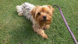 """Adult Male Dog - Yorkshire Terrier Yorkie: """"Mousse"""""""