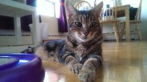 "Adult Female Cat - Bengal-Tabby - Brown: ""Kobi"""
