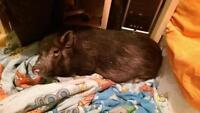 """Adult Male Pig - Pot Bellied: """"Baloo"""""""