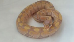 Ball Pythons needing a new home