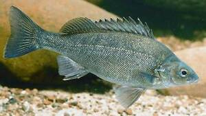 LIVE BARRAMUNDI AND SILVERPERCH FINGERLINGS. Canning Vale Canning Area Preview