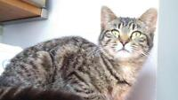 """Adult Female Cat - Domestic Short Hair: """"Oxelle"""""""