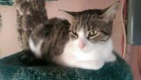 "Adult Female Cat - Domestic Short Hair: ""Tooey"""