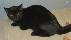 "Young Male Cat - Domestic Short Hair: ""Samuel"""