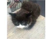 Fluffy black kitten with white face kitten