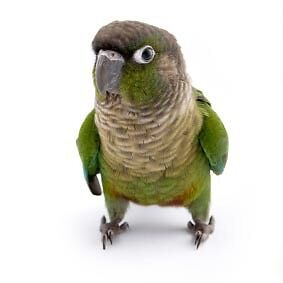 Buying young conures or adopting any age