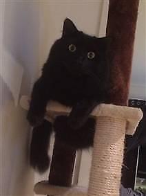 RSPCA LOST CAT NOTICE 'MAX' AID 1032566-SUNNYBANK HILLS-16/9/17