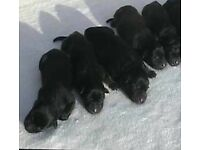 Kc German shephard puppies