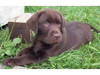 Chunky Chocolate Labrador Puppy Boy 9wks Old 1st inj & VetChkd