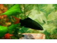 4 black red-tailed sharks (one silver)
