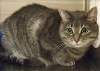"Adult Female Cat - Domestic Short Hair: ""Squeek"""