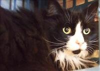 "Adult Female Cat - Domestic Long Hair: ""Kitty"""