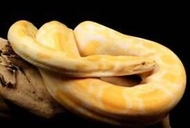 albino burmese python only £80 ono