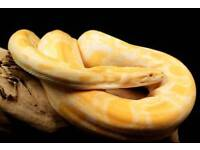 albino burmese python only are near offer