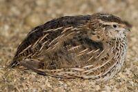 Courtnix quail hens