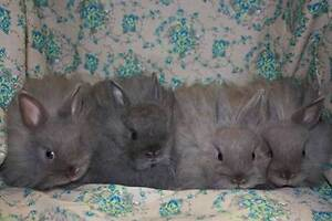 Jersey Wooly rabbit kits for sale Warrnambool Warrnambool City Preview