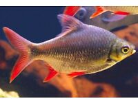 4 x Red Tail Tinfoil Barbs FREE TO COLLECTOR