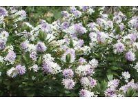 Hebe shrub in pot in flowers