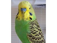 2 male budgies( LAST TWO LEFT)