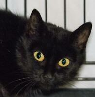 "Young Female Cat - Domestic Short Hair: ""Foxi"""