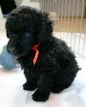 WANTED. Female Miniature Poodle Windsor Hawkesbury Area Preview