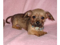 Gorgeous Wire haired Miniature Dachshund X Chihuahua Male Puppy