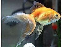 Goldfishes +tank