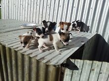 Jack Russell x fox terrier pups Robertson Bowral Area Preview