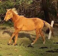 Palomino Quarterhorse Kyneton Macedon Ranges Preview