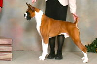 CKC Registered boxer puppies-Champion-Health Tested lines