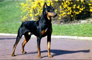 LOOKING FOR A Doberman pinscher!! Or husky (Pomeranian mix)