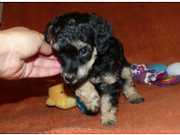 Cute Miniature Poodle Puppies