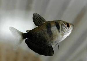 Black Skirt Tetras x3 Rochedale South Brisbane South East Preview