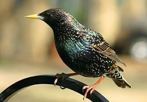 LOOKING FOR A STARLING