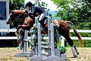 Fabulous Large Pony Mare Available for LEASE