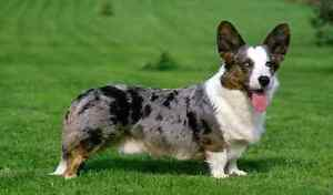 Cardigan or Pembroke Welsh Corgi Puppy Beenleigh Logan Area Preview