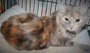 """Adult Female Cat - Domestic Medium Hair: """"Cleo"""""""