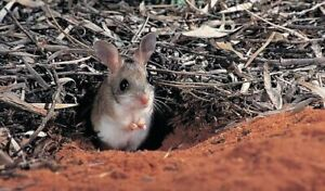 WANTED: Spinifex Hopping Mouse Croydon Burwood Area Preview