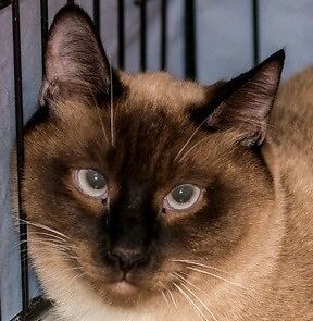 MEOW Foundation's Beautiful Boz Seeks Quiet Home