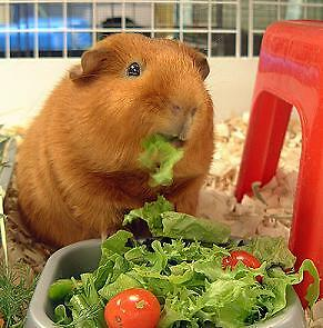 Guinea Pig Foods They Can Eat